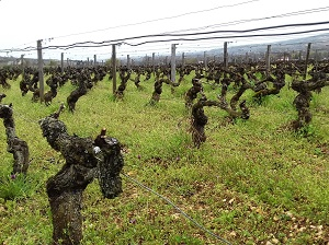 Vineyard tending stage in Buegudy as a gift