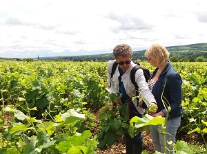 Vineyard work during a oenology course in Burgundy, France