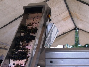 The grapes climb into the destemmer
