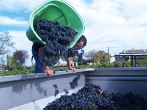 Transferring the grapes to the trailer