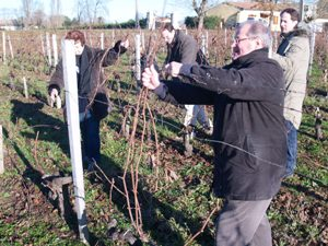 Clearing the branches from the pruned vines