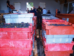 Harvested grapes arrive in the reception hall