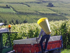 Sunny harvest 2014 in the French vineyards