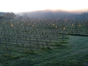 Lighting candles in the vineyards to help protect the vines from frost.