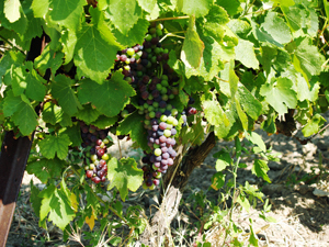 Veraison when the grapes start to change colour and mature