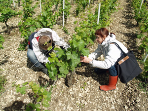 Debudding in the vineyard at Chablis