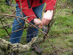 Pruning the vines in the vineyard