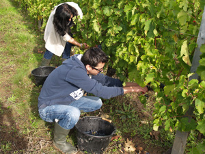 Harvest your adopted vines in an organic Bordeaux vineyard