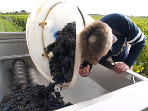 Harvest Experience Gift. Porter emptying the harvested grapes into the trailer