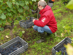 Harvesting the grapes into cases