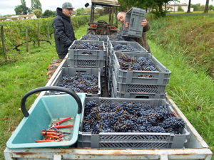 Harvest Experience Gift. Picking grapes in a Bordeaux vineyard