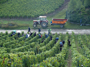 Adopt a vine Gift. Harvest Experience day at Domaine Jean-Marc Brocard, Chablis, France