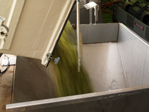 Loading the harvested grapes into the press