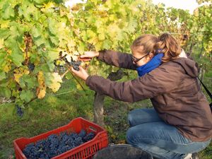 Rent-avine gift for wine lovers. Harvest Experience Days at the winery in France