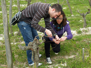 Attaching the vine to the training wire