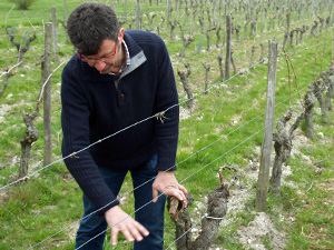 Pruning vines during the Gourmet Odyssey Wine Experience
