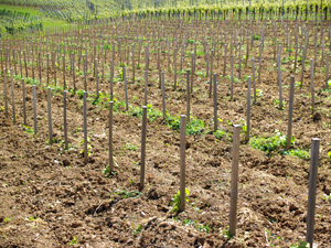 Adopt-a-vine gift and meet the winemaker in Alsace