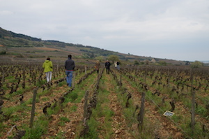 Vines adoption in Burgundy Domaine Chapelle