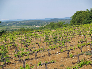 Wine Experience Gift in south of France. Adopt-a-vine and get invovled in making your own wine.