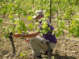 Debudding in the vineyard