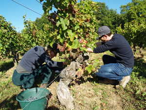 Harvesters at work in Chinon Loire Valley