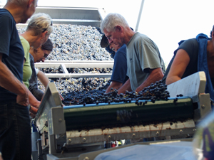 Sorting grapes for the harvest 2014 in Chinon
