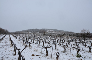 Dry and cold winter in the Languedoc vineyard France