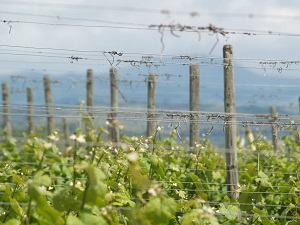 Vine growing in the Alsace vineyard France