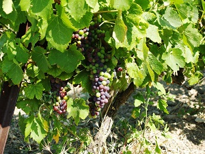 Veraison of the grapes in the Rhone Valley France