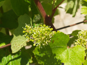 Vine flowers in the French vineyard