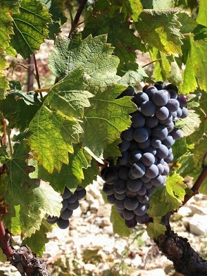Grapes maturity in the French Rhone Valley vineyard