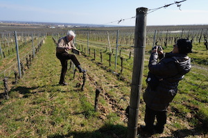 Vine adoption Alsace France