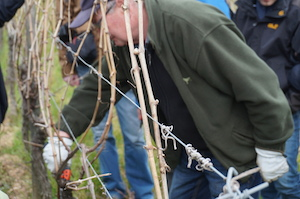 Guyot pruning in the vineyard Alsace