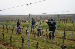 Vines adoption in France Alsace