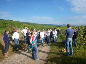 Harvest wine course in Alsace