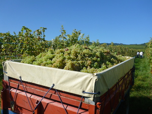 Picking grapes during the harvest experience in Alsace