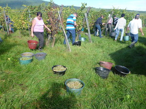 Chasselas grapes harvest in Alsace France