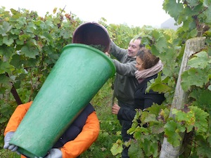 harvest Grapes France Alsace harvester Stentz