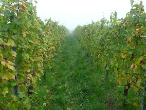 harvest vineyard alsace france stentz buecher
