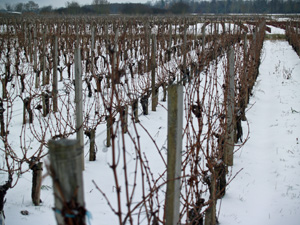 Snow covered Bordeaux vineyard