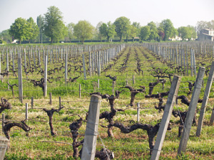 vine adoption Bordeaux France