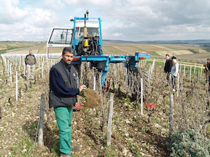 Vineyard work Burgundy Chablis