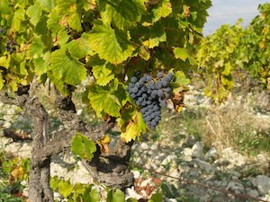The grapes are maturing in the Rhone Valley