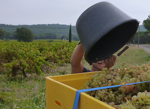 Harvest in the Rhone Valley