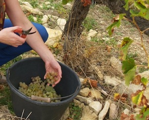 Wine course Harvesting the grapes in Rhone Valley