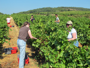 Wine Lover Gift. Harvest Experience day in the south pf France at domaine Allegria, Pezenas, Languedoc-Roussillon
