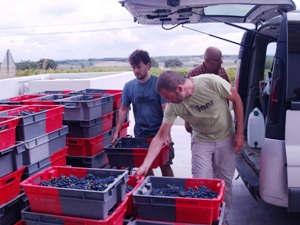 Unloading the crates full of the harvested grapes