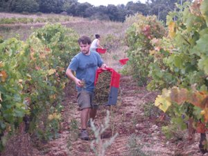 Speading the grape stems amongst row of vines to compost and return nutrients to the soil