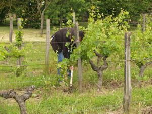 Removing the weeds from around the feet of the vines