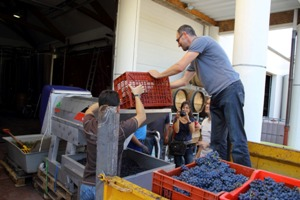 Emptying the grapes into the de-stemming machine